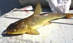 Resultado de imagem para peixe brasileiro bagre