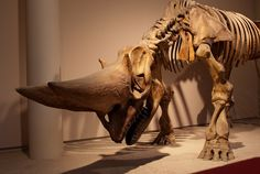 Arsinoitherium - Africa, from 36 to 30 million years ago, in areas of tropical forest and mangrove swamps.(I guess there really were unicorns, lol!)