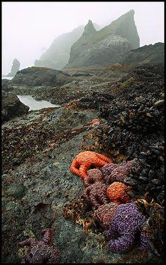 Shi Shi Beach, Washington - Purple Starfish, Foggy Low Tide