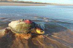 TAMAR. Estudo de telemetria em Sergipe instalou transmissores em 47 tartarugas marinhas