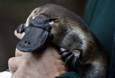 Duck Billed Platypus, I saved one of these WWF