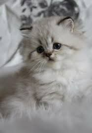 Image result for british longhair cat