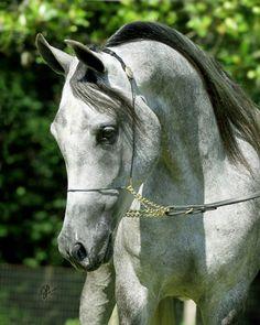 Hadeefah Suseri (Ravenwood Al Mone x Bint Suseri by Ali Zaar) 2008 grey SE mare bred by Heritage C Egyptian Stud, Texas - Strain: Dahma Shahwaniyah