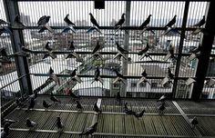 Idaho Feed Biz Homes in on Taiwan's Racing Pigeons Pigeon House, Pigeon Loft, Homing Pigeons, Best Stocks, Bird Cages, Coops, Idaho, Racing, Birds