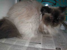 MITZY - ID#A1041658  This is an unaltered female, seal point and white Himalayan and Persian. My name is MITZY.  PRIOR TO ADOPTION ALL ...