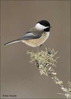 Black-capped Chickadee, Cook Co, MN - www.alanmurphyphotography.com