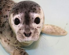 "This harbor seal pup was found stranded in Seward, Alaska, in May, and when her mother had not returned 24 hours later, workers at the Alaska SeaLife Center intervened. They named the little girl Gouda — every year the rescued animals are named according to a theme and 2011's theme is ""wine and cheese"" — and began feeding her five times a day. After a few days of care, Gouda regained her strength and started splashing around in saltwater twice a day so she could get used to swimming."