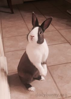 Bunny just heard the crisper drawer opening - March 30 2016 Cute Baby Animals, Animals And Pets, Funny Animals, Baby Bunnies, Cute Bunny, Beautiful Rabbit, Rabbit Sculpture, Rabbit Tattoos, My Animal