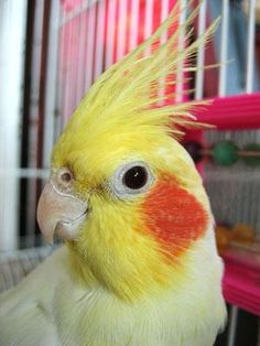 cockatiels always with a questioning look