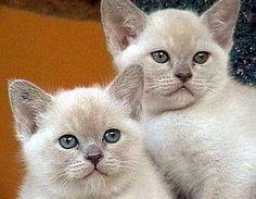 Burmese cat breeders in australia
