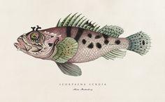 Botanical Fish Prints by Cape Town's illustration and graphic design SOIL Design. Science Illustration, Animal Illustrations, Ocean Crafts, Fantasy Monster, Fish Print, Fish Design, Watercolor Print, Botanical Prints, Pet Portraits