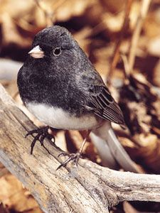the Juncos are winter birds that enjoy the millet I spread on the ground