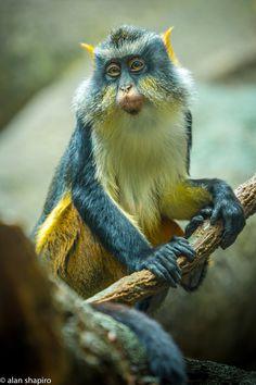 https://flic.kr/p/kt5gro | Wolf's Mona Monkey | www.alanshapirophotography.com www.instagram.com/alanshapiro515