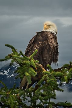Bald Eagle by betty wiley, via Flickr