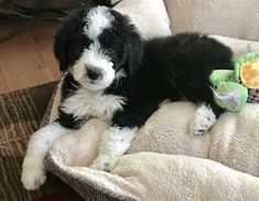 View photos of our available and past puppies. health GUARANTEE against genetic defects. English Sheepdog Puppy, English Shepherd, Sheep Dogs, View Photos, Turtles, Photo Galleries, Doodles, Puppies, Babies