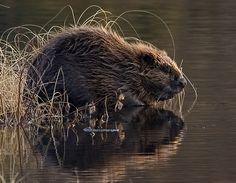 """Eurasian Beaver.    [""""Tayside mother beaver with her kit - Eurasian beaver - Wikipedia.""""]"""