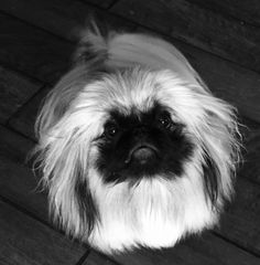 A light that shines in the darkness.for Gina. Yorkies, Pekingese Puppies, Fu Dog, Dog Cat, Animals And Pets, Cute Animals, Tiny Monkey, Lion Dog, Japanese Chin