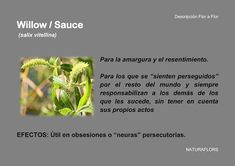 NaturaFlors: Willow / Sauce