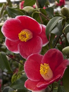 Camellia japonica 'Tama-no-ura' (Discovered in Japan, 1947)
