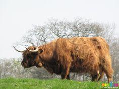 Scottish Highland Cattle   Picture SX05291 Scottish highland cattle   20090418 Bike ride to ...