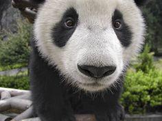 ik wou een hoofd van een panda tekenen
