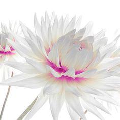Lady Dahlia* #Dahlien #rosa #weiss #Eleganz