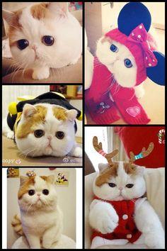 Snoopy (Exotic Shorthair) เอ็กโซติก ช็อตแฮร์ เพศผู้ @เฉิงตู จีน