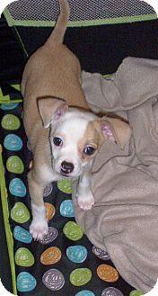 Buffalo, NY - Chihuahua. Meet Jazz, a puppy for adoption. http://www.adoptapet.com/pet/12190453-buffalo-new-york-chihuahua
