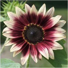 Cherry Rose Sunflower Seeds (Helianthus annuus)