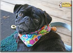 Read Boaz's story the Pug from Blaine, North Carolina and see his photos at Dog of the Day http://DogoftheDay.com/archive/2015/February/17.html