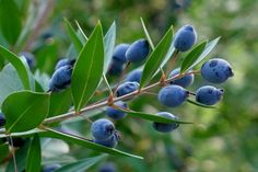Aglaia's Table in Kea Cyclades - Editorial, Recipes and Liquor, Blueberry, Fruit, Plants, Food, Editorial, Alcohol, Berry, Essen