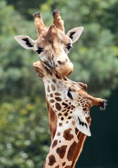 creatures-alive: rothschild giraffe Beekse Bergen by j. Jungle Animals, Animals And Pets, Baby Animals, Cute Animals, Animals Planet, Wild Animals, Giraffe Pictures, Cute Animal Pictures, Giraffe Art