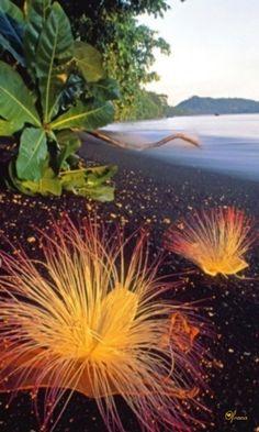Bucketlist - Flowers of Sea Putat (Barringtonia asiatica), Tangkoko Nature Reserve, Sulawesi, Indonesia | Martin Vidal: http://www.flickr.com/photos/churchpress/3604369943/