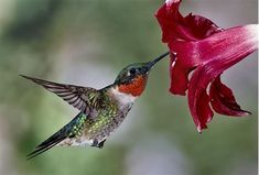 Image result for Red Hummingbird Flowers