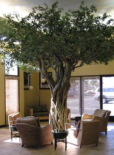 Monkey House Cafe-Huntington Beach, CA. Strangler Fig Tree.