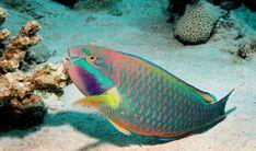 PARROT FISH.