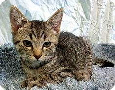 New Cumberland, WV - Domestic Shorthair. Meet AMETHYST, a kitten for adoption. http://www.adoptapet.com/pet/11389345-new-cumberland-west-virginia-kitten