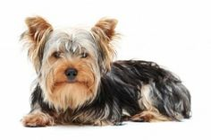 Quality, Original and Unique Terrier Dogs Private Label Rights Articles. Terrier Dogs PLR Articles With Private Label Rights. Havanese Dogs, Yorkie Puppy, New Puppy, Yorkies, Top 10 Dog Breeds, Small Dog Breeds, Small Dogs, Yorkshire Terrier Dog, Terrier Breeds