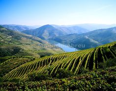 Vineyards at the Quinta do Infantado on the Douro region, the origin of the world famous Port wine. A UNESCO World Heritage Site, Portugal