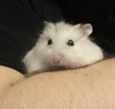 This sub is dedicated to hamsters and their humans. Hamsters, Daisy, Meet, Animals, Animaux, Margarita Flower, Animal, Bellis Perennis, Animales