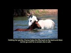 Baby Horse Succumbs And Drowns In A River Current, But A Wild Stallion Refuses To Give Up