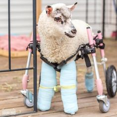 Pam ha vivido días hermosos donde la frustración de no poder mover su cuerpo ha quedado en el pasado. Con sus rueditas va de un lugar a otro dando saltitos y siendo una niña con un corazón contento  - - #specialneeds #wheelchair #rescueanimal #rescueanimals #rescue #lamb #sheep #lamblove #sheeplove #farmanimals #farmanimal #animal #animals #animales #happyanimals #animallover #animallovers #animallove #friendsnotfood #animalfriends #someonenotsomething #equalityforall #chilegram #instachile…