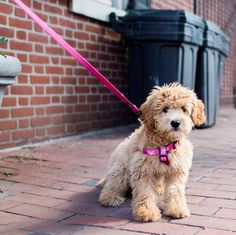 The Dogist — Lucy, Miniature Goldendoodle (4 m/o), S 6th &...