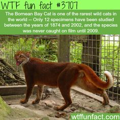 The rarest and one of the most beautiful cats in the wild -  WTF fun facts