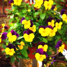 Violas in my parents' house. How vivid!