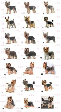 Short Haircut Yorkie Yorkshire Terrier - Bing Images