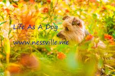 "I added ""Life As A Dog ~ NESSVILLE"" to an #inlinkz linkup!http://www.nessville.me/2016/09/life-as-dog.html"