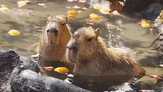 Why do capybaras get along so well with literally every other species? - AOL