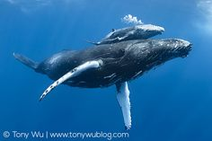 Humpback whales, by Tony Wu.