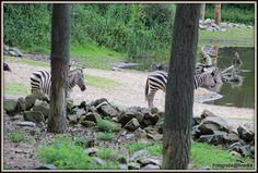 Zoek de zebras